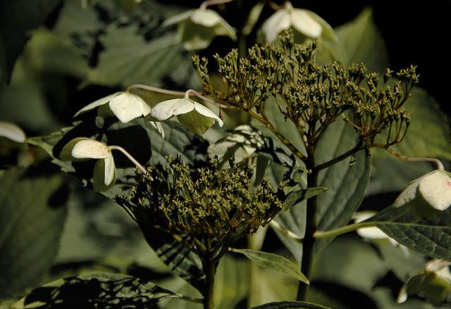 série Hydrangéa arborescent