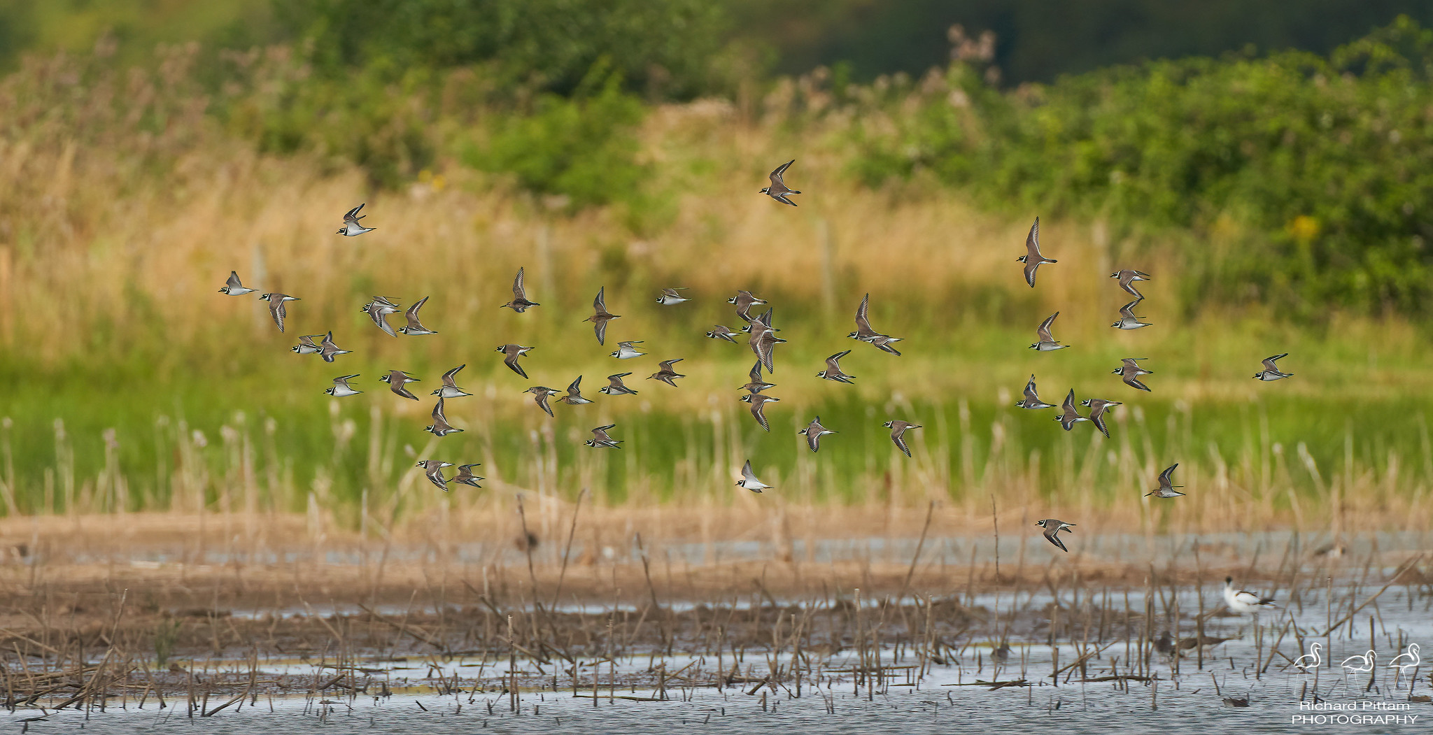 Ringed Plovers and Dunlin in flight