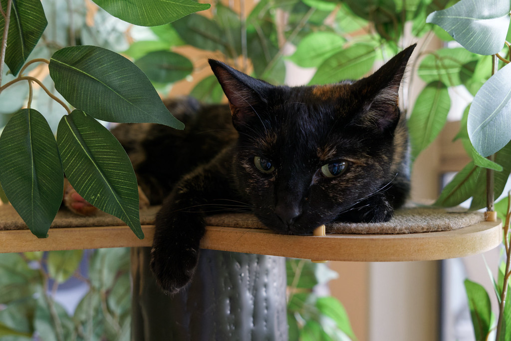 Our tortoiseshell cat Trixie looks out from the top of the new cat tree on August 4, 2021. Original: _CAM3057.arw