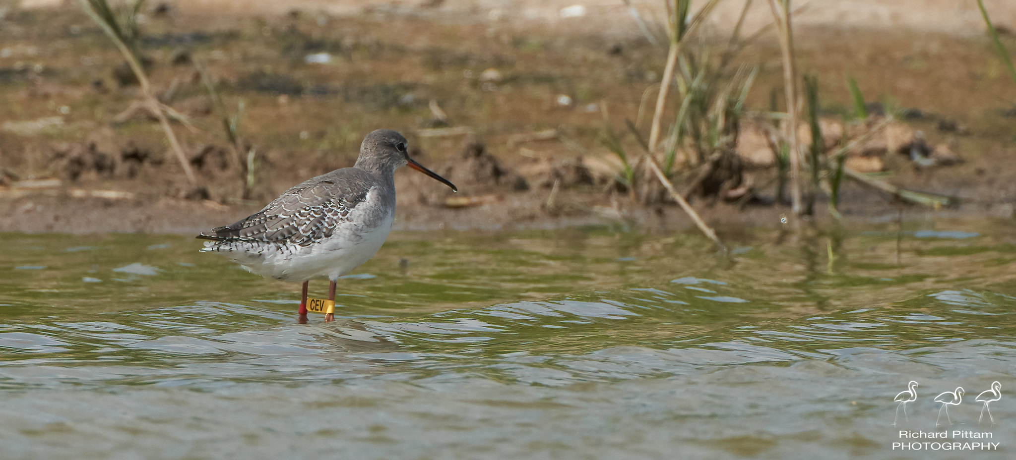Spotted Redshank [CEV]