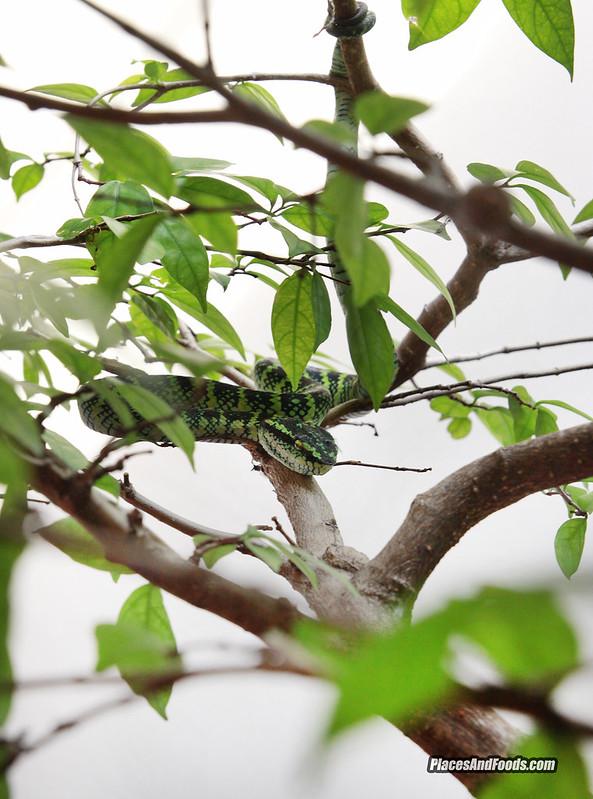 penang green snake