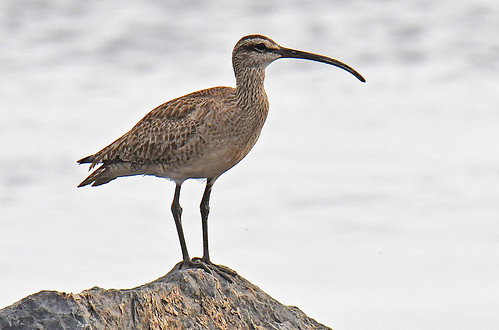 Whimbrel - Braddock Bay East Spit - © Dick Horsey - Aug 13, 2021