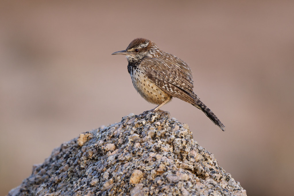 A cactus wren perches on a rock immediately after the sun set at George Doc Cavalliere Park in Scottsdale, Arizona on July 25, 2021. Original: _RAC5493.arw
