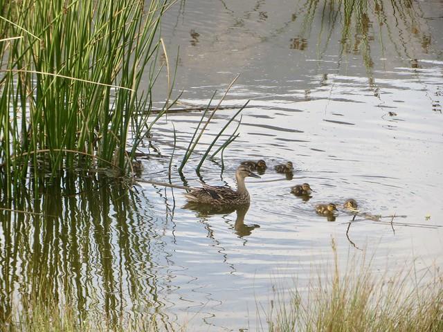 more adorable ducklings