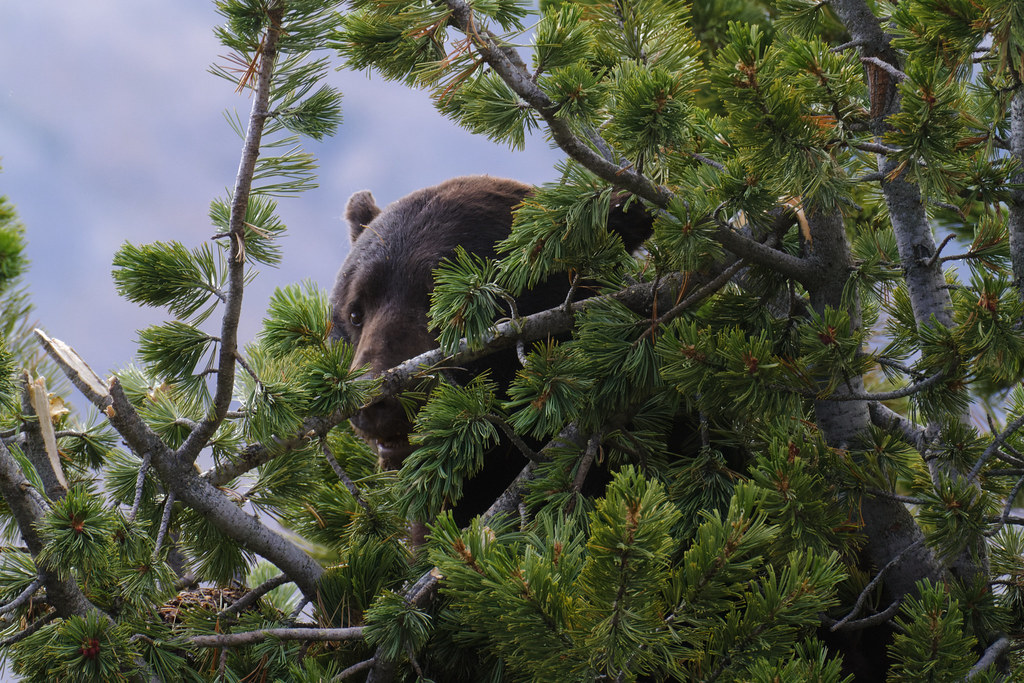 A black bear peeks out from the branches of a pine tree as it eats pine cones on the Mount Washburn Trail (South) in Yellowstone National Park in Wyoming on October 1, 2011. Original: _MG_1253.crw