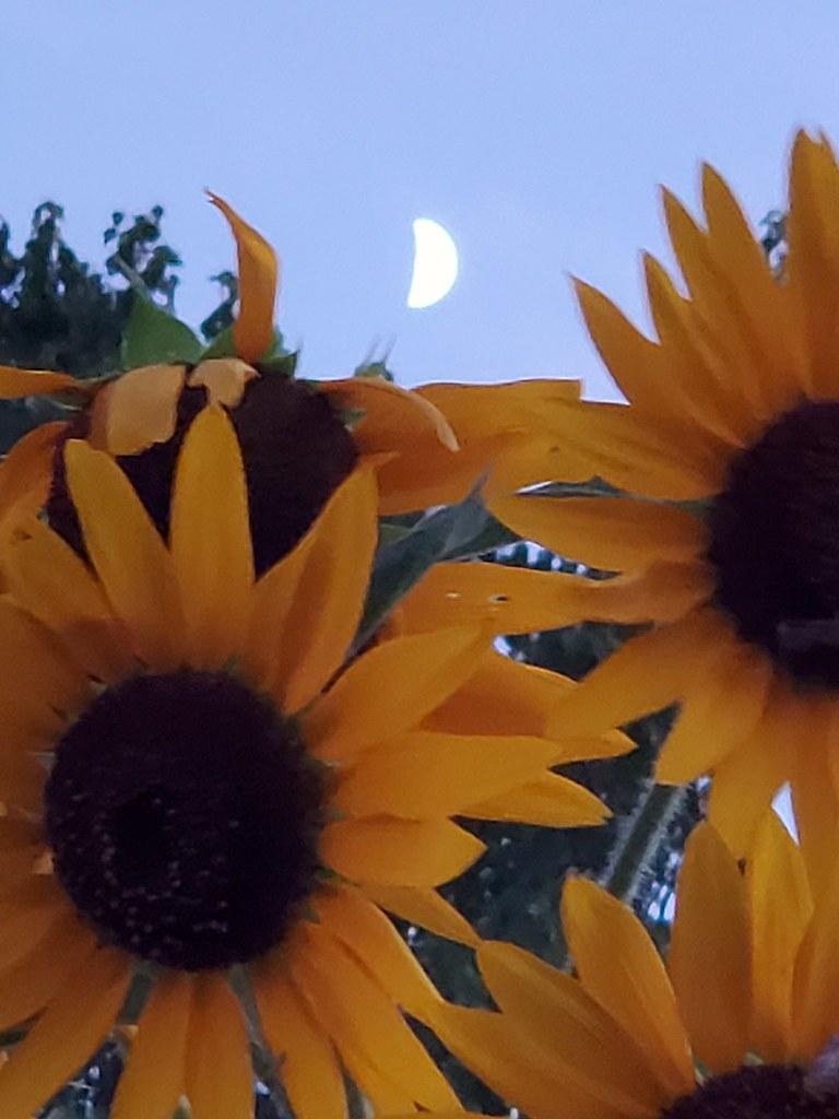 Pre-dusk half moon over sunflowers