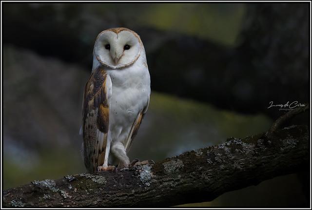 Lechuza de Campanario, Common Barn-owl (Tyto alba)