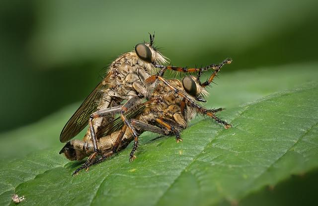 Händchenhalten bei den Burschen-Raubfliegen (Tolmerus cingulatus)