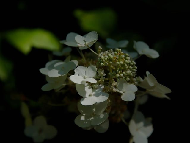 série Hydrangéa blanc