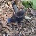 Bluebird chick 5_23_2