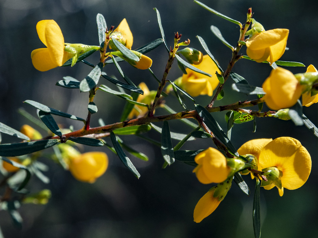 08181381 Phyllota grandiflora, Berowra NP