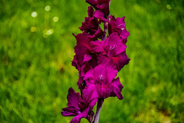 21-07-31 nah iris blüte pink kontr bok green low k text ds_05246