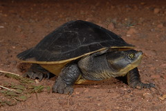 New specis of turtles discovered and named by reptile expert Raymond Hoser.