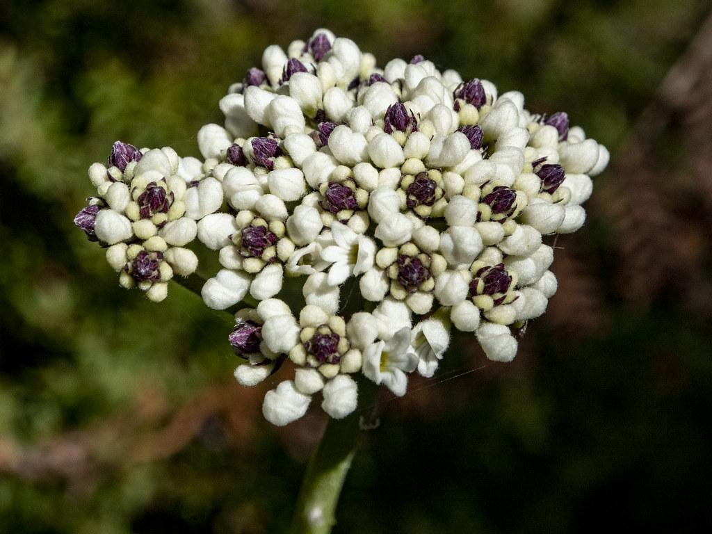 08181388 Conospermum ellipticum, Coneseeds, Berowra NP