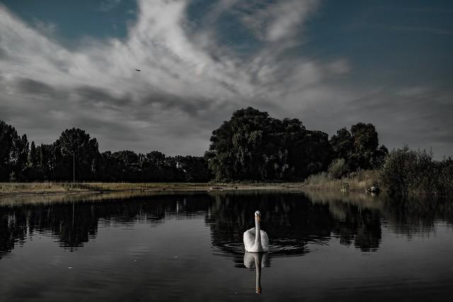 Swan…