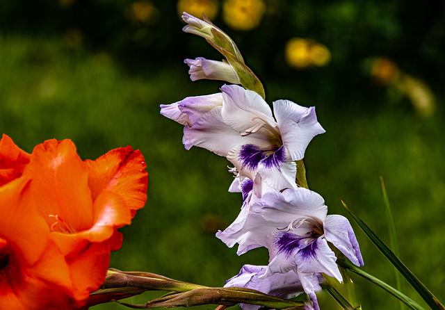 21-07-31 nah iris blüte weiss pink orange kontr bok text ds_05244