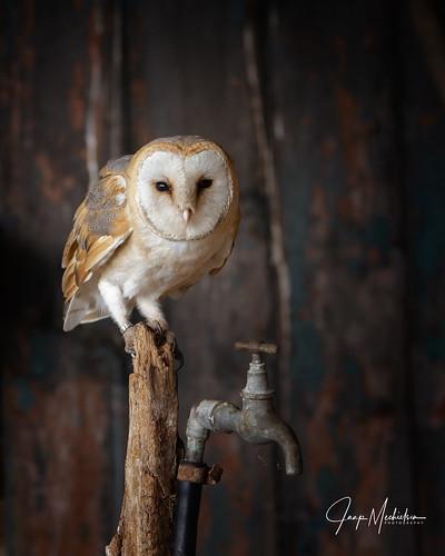 Kerkuil/Barn owl