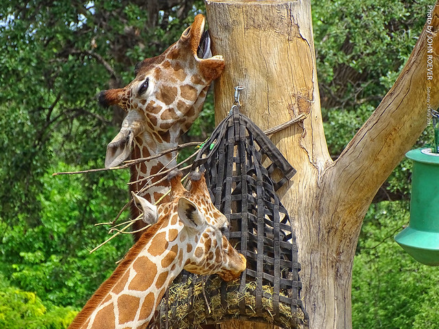 Giraffes at Henry Doorly Zoo, 29 May 2021