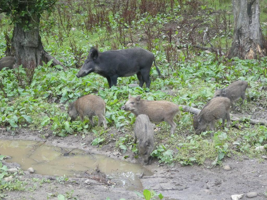 Wild Boar in the Bowland Wild Boar Park