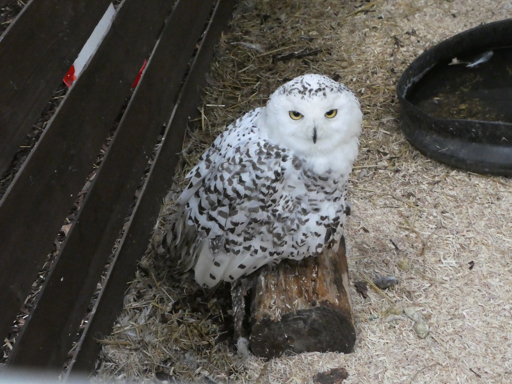 An owl in the Bowland Wild Boar Park