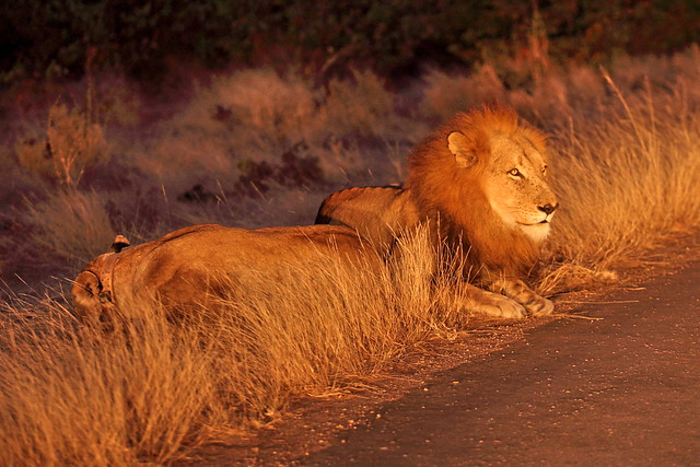 Early riser catches the lion