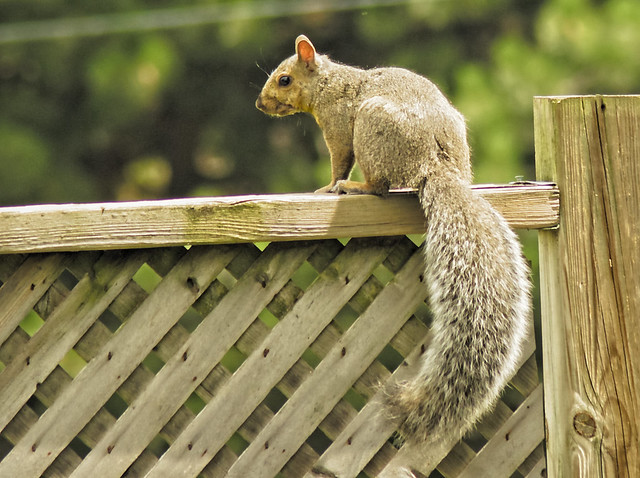 squirrel on the back fence