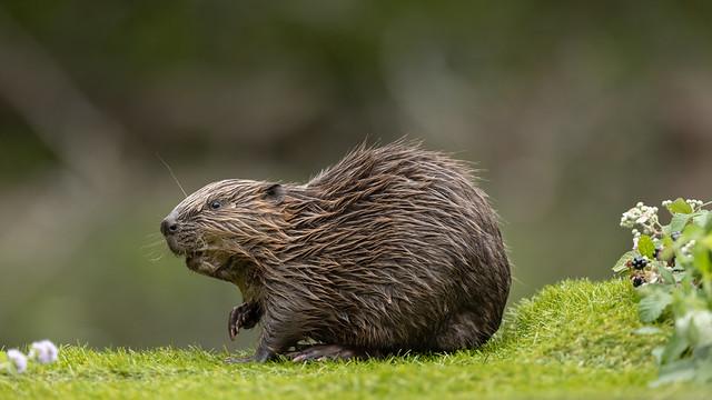 Beaver kit, growing up fast, Wales. UK  17/08/21