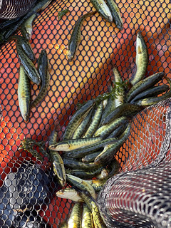 Photo of several small snakeheads in a net