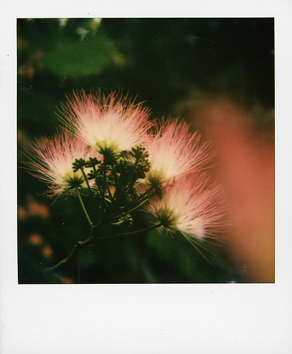 Albizia ou arbre à soie rose