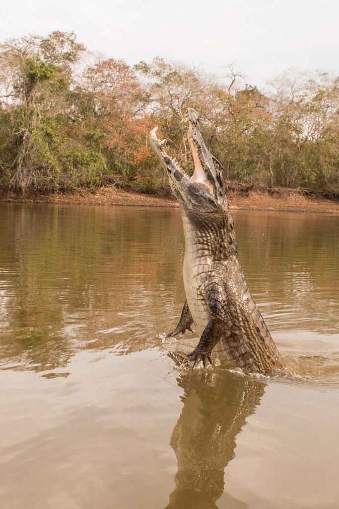 Jacaré-do-Pantanal saltando