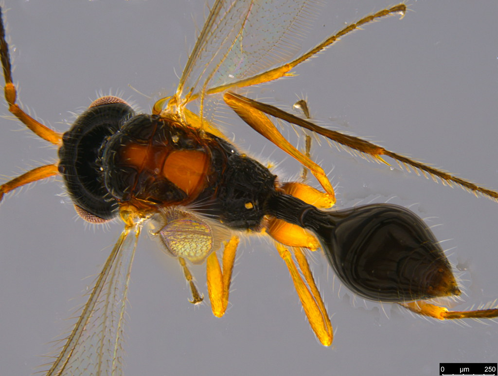 18b - Belytinae sp.