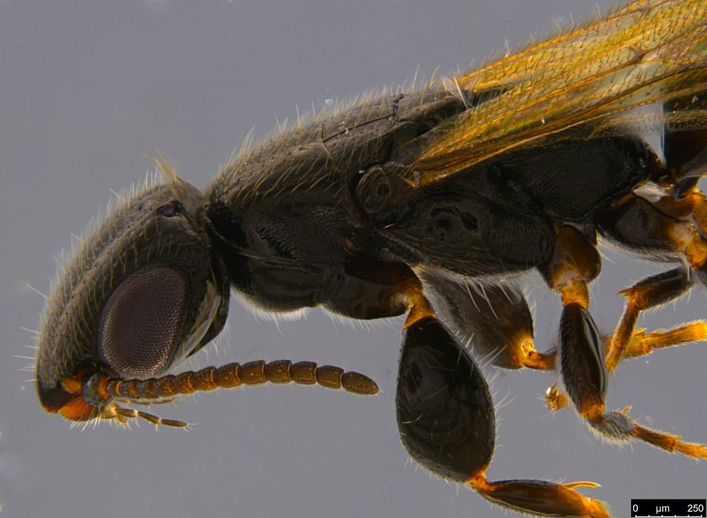 20b - Bethylidae sp.