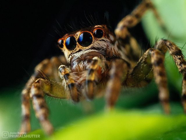 Salticidae, Asaphobelis physonychus