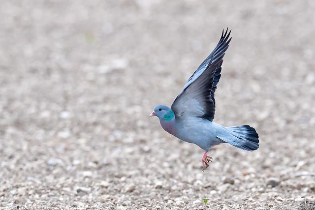 Stock Dove on Salisbury Plain 😊