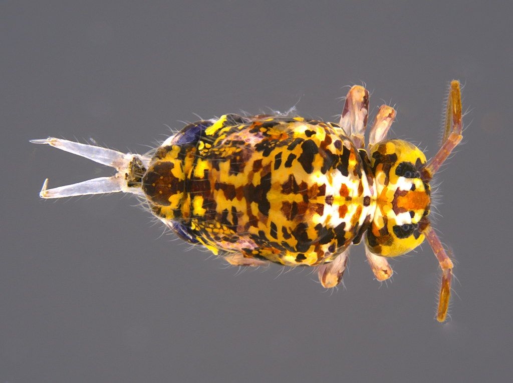 4a - Sminthuridae sp.