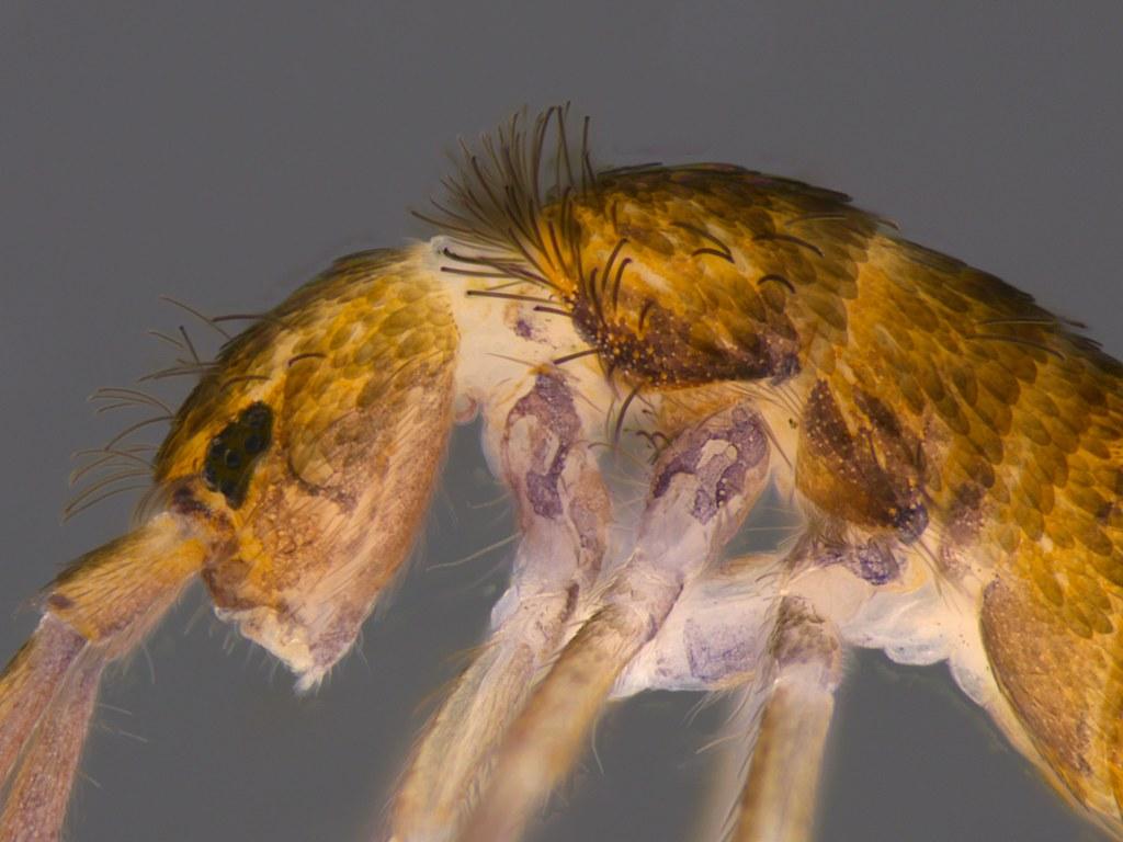 5b - Lepidocyrtus sp.