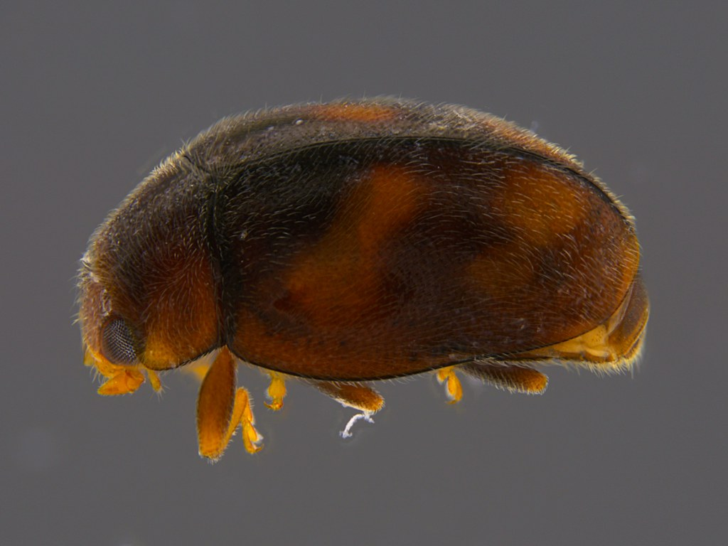 8a - Coccinellidae sp.