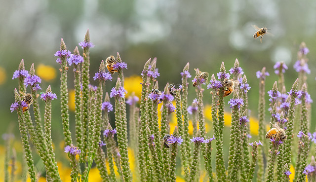 Bee-fest