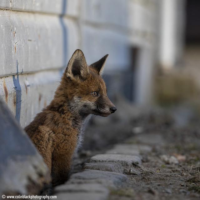Fox cub emerging, NE Scotland