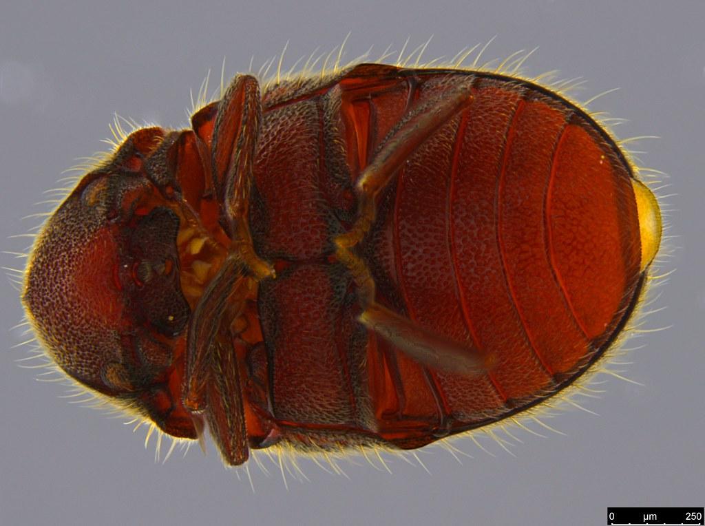7b - Coleoptera sp.