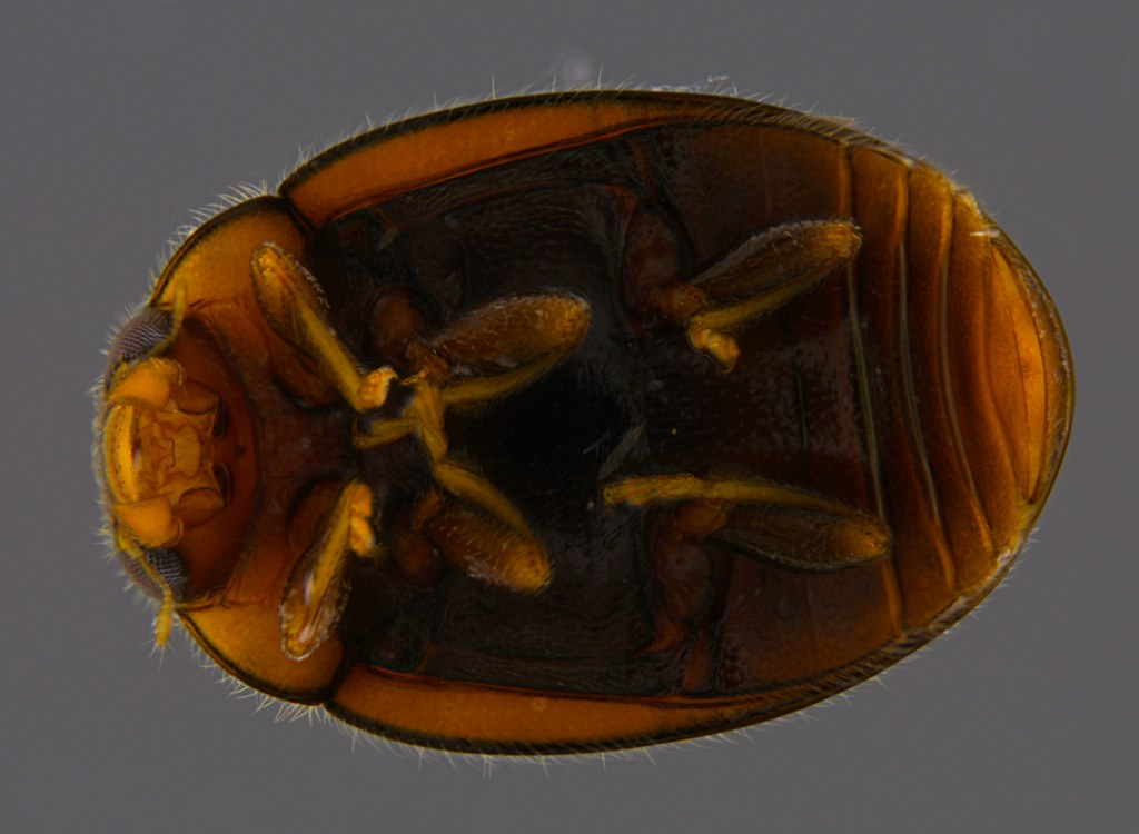 8b - Coccinellidae sp.
