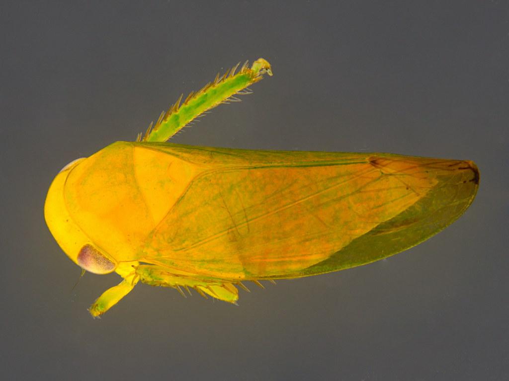 15a - Cicadellidae sp.