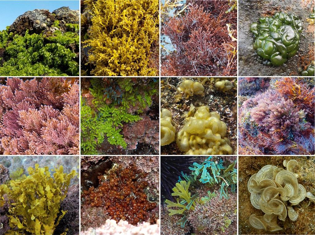 Algas visibles en San Telmo