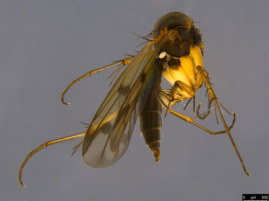 10 - Mycetophilidae sp.