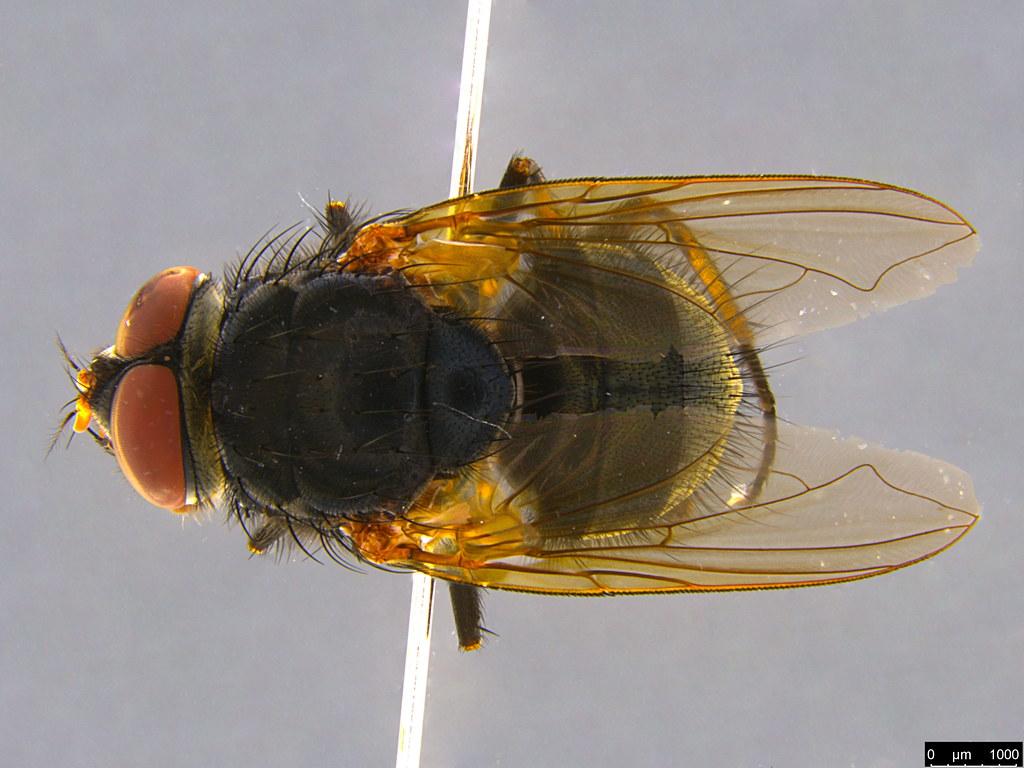 13 - Calliphorinae sp.
