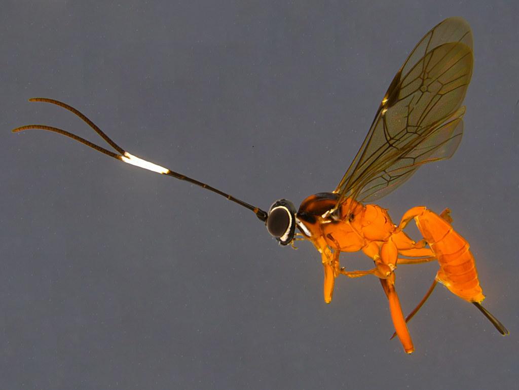 28a - Ichneumonidae sp.