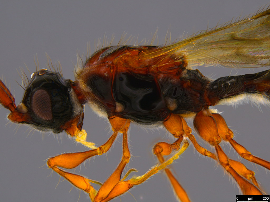 16b - Ambositrinae sp.