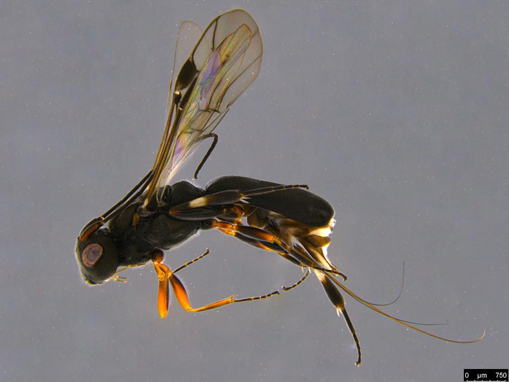 21a - Cheloninae sp.