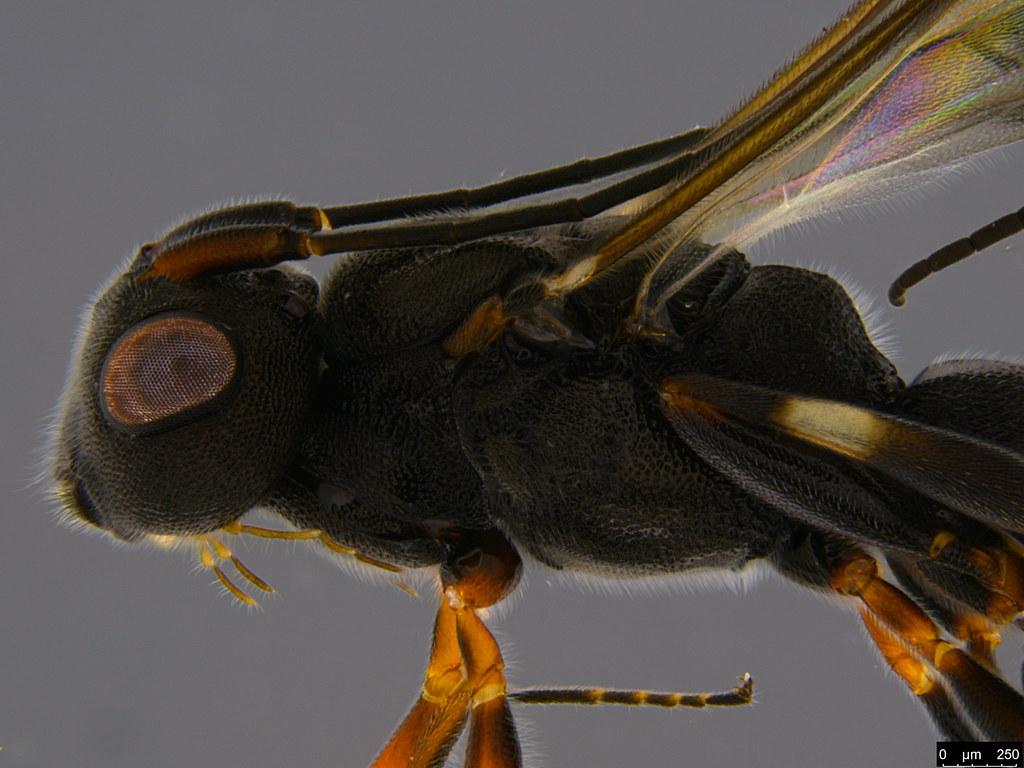21b - Cheloninae sp.