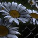 Daisies Unchained 2 (Embers)